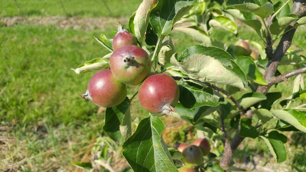 First Apples